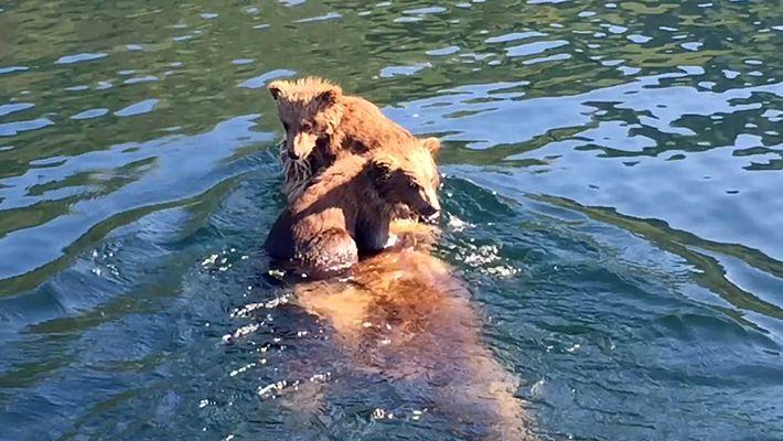 Esta mamá oso nada lago abajo con sus cachorros a cuestas
