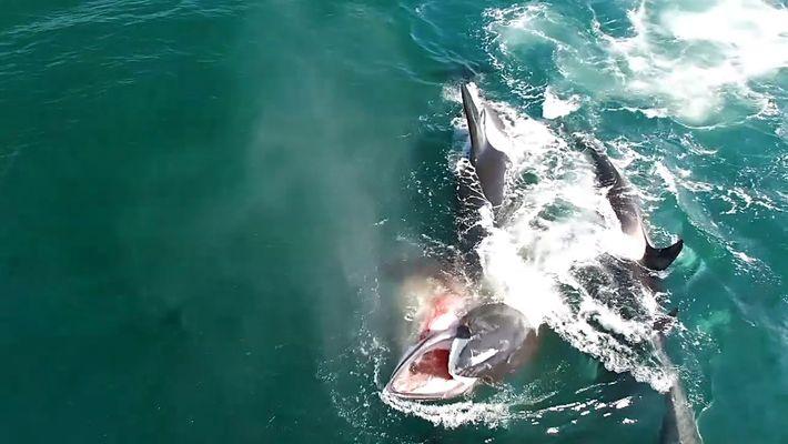 Un grupo de orcas da caza y devora a una ballena