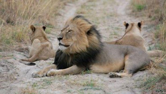 Un cazador de trofeos mata al hijo del león Cecil