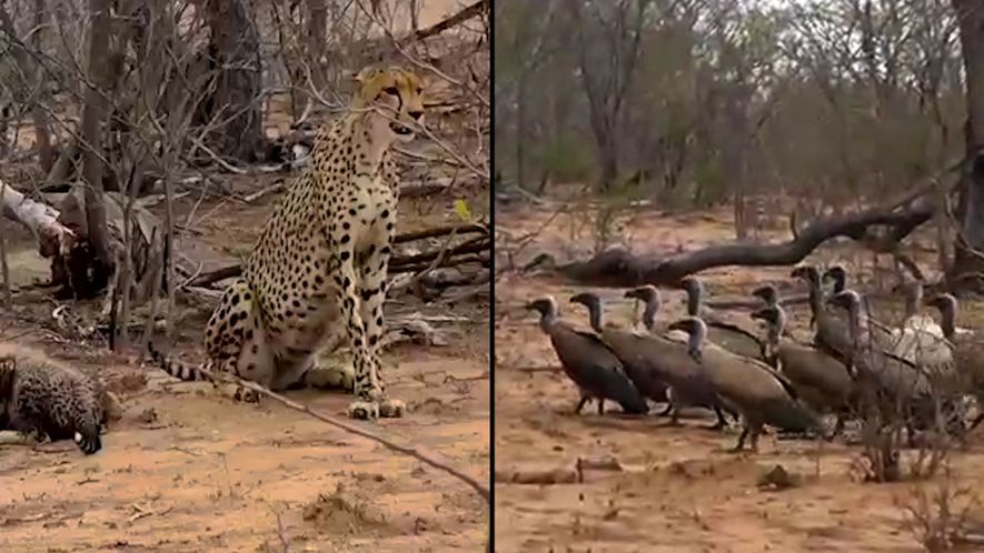 Un grupo de buitres consigue robarle la comida a un guepardo
