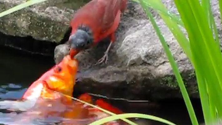 Un ave alimenta a unas carpas como si fueran sus polluelos