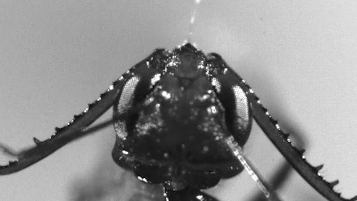 Estas hormigas atacan a sus presas 700 veces más rápido de lo que tardas en pestañear