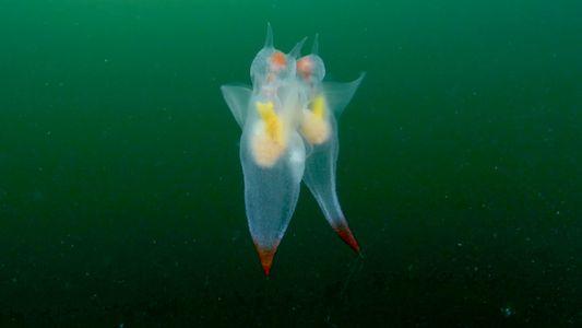 Así es la grácil danza de apareamiento de los ángeles de mar