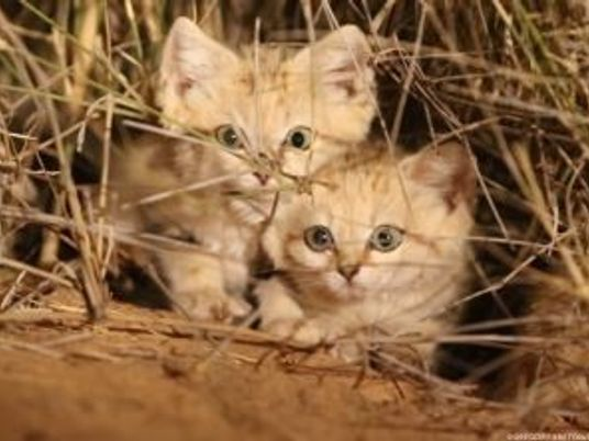 VÍDEO: Grabadas por primera vez varias crías de gato de las arenas en libertad