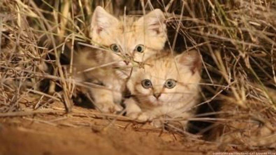 Estas son las primeras imágenes de gatitos de las arenas grabados en estado salvaje