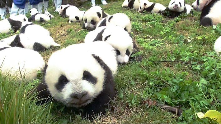 Los criaderos de China registran una cifra récord de nacimientos: 42 nuevos pandas