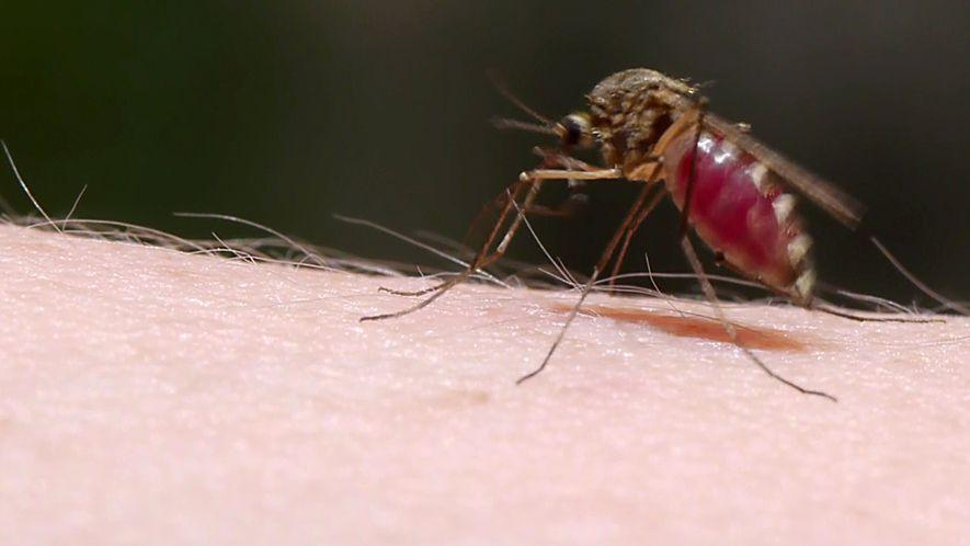 El secreto del sigilo de los mosquitos, desvelado a cámara lenta