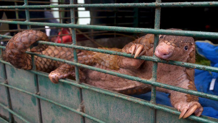 Rescatados 101 pangolines capturados que iban a venderse en el mercado negro