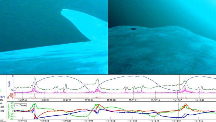 La mayoría de ballenas azules son «zurdas»