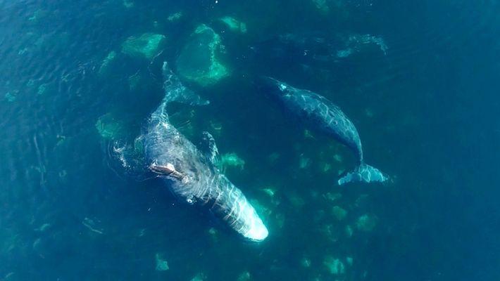 Las ballenas de Groenlandia acuden a este «spa» para exfoliarse