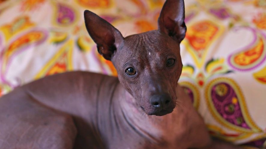 Los xolos, perros mexicanos con un pasado que se remonta a hace 3.500 años