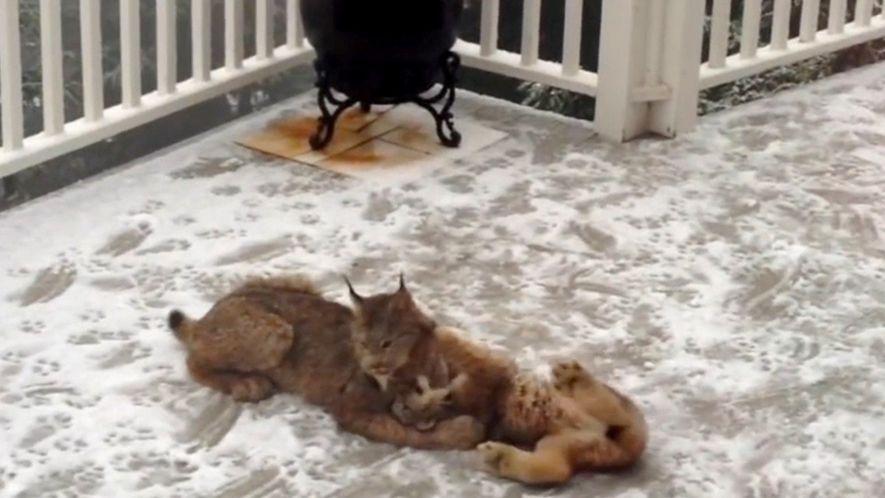 Una mamá lince y sus crías retozan en la nieve