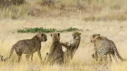 VÍDEO: Lucha de sexos entre guepardos durante el ritual del cortejo