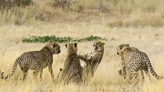 Un guepardo hembra se enfrenta a cuatro machos que pretendían cortejarla