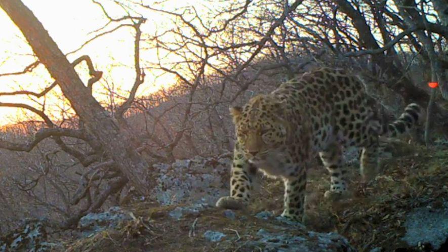 Grabados los sonidos de un leopardo del Amur salvaje por primera vez en la historia