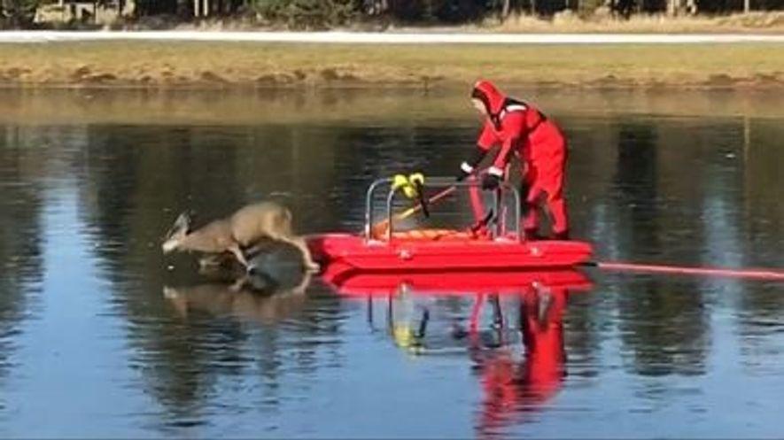 Un bombero salva a un ciervo atrapado en el hielo