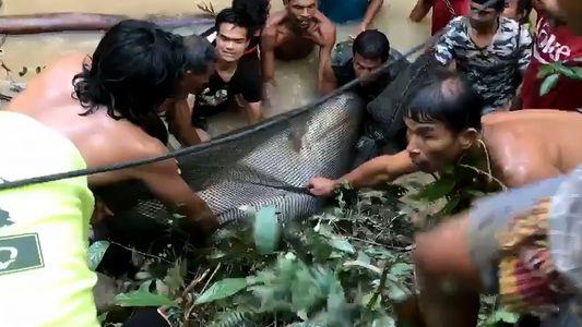 Un grupo de aldeanos rescata a un pez gato de 400 kilos