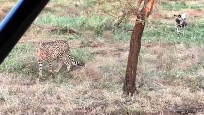 Perros salvajes africanos vs. guepardos