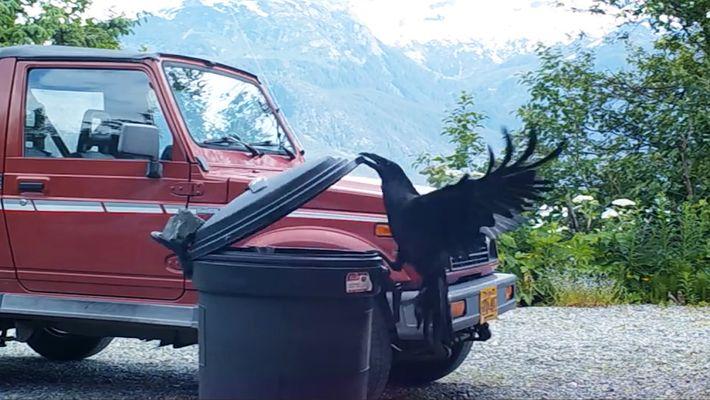 Estudios demuestran que los cuervos son comparables intelectualmente a los chimpancés. Aquí tienes un ejemplo de ...