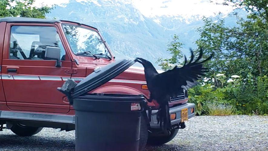 Este inteligente cuervo consigue abrir un cubo de basura cerrado