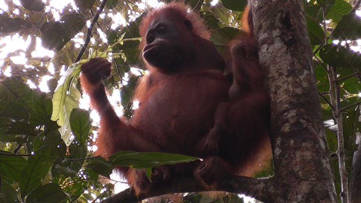 VÍDEO: ¿Durante cuánto tiempo amamantan los orangutanes a sus crías?