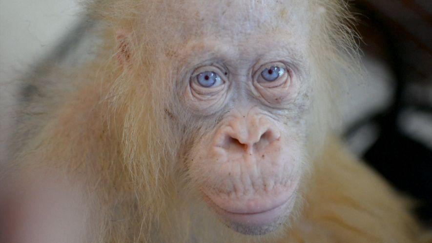 Conoce a este extraño orangután albino