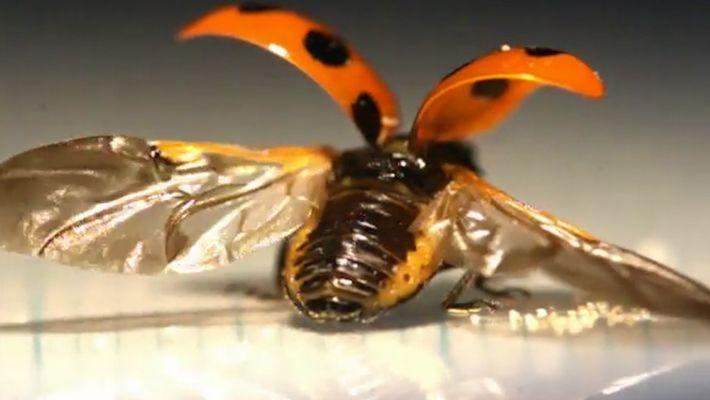 VÍDEO: Los mecanismos de las alas de las mariquitas