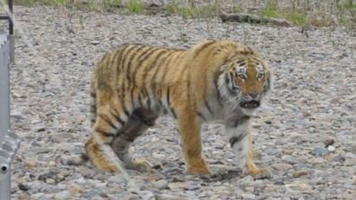 Vladik, el tigre de Amur rehabilitado que regresará a la naturaleza