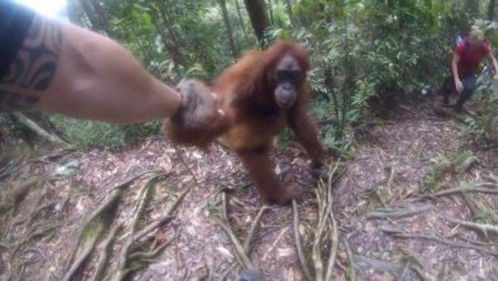 Un orangután retiene a la fuerza a una mujer durante más de cinco minutos