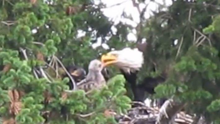 VÍDEO: Enemigos habituales, estas águilas calvas adoptaron a una cría de gavilán colirrojo