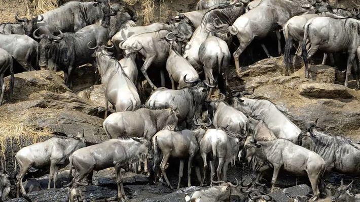 Descubre cómo 900 toneladas de ñus muertos ayudan al Serengueti