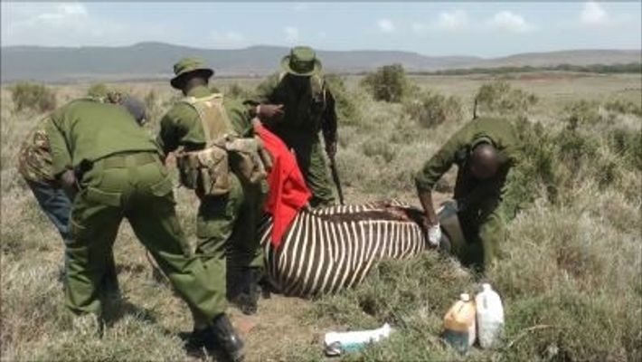 Estos veterinarios logran salvar a una cebra en peligro de extinción