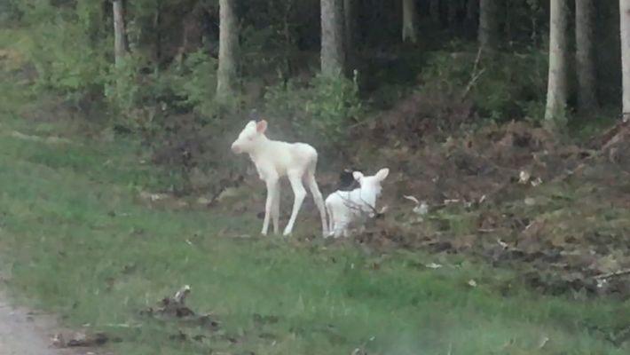 Adorables imágenes de unos pequeños alces blancos gemelos