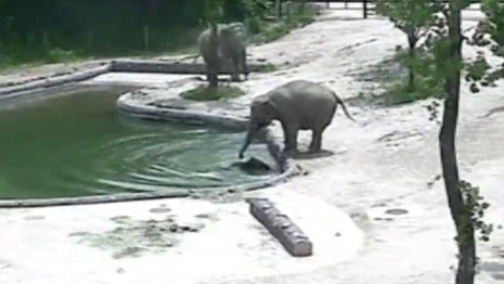 Dos elefantas salvan a una cría que había caído al agua