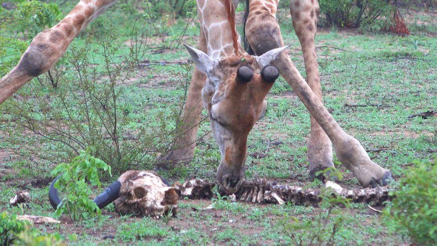 ¿Por qué estas jirafas se alimentan de un esqueleto de búfalo?