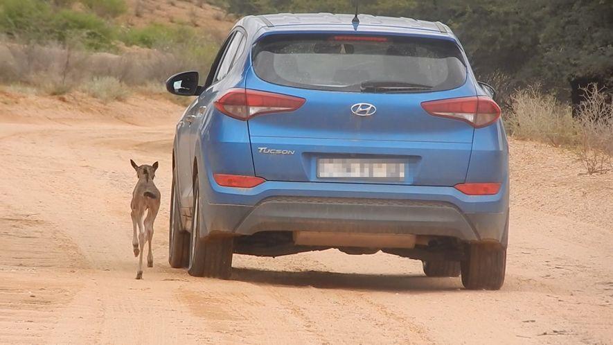 Un bebé ñu perdido confunde a un coche con su madre