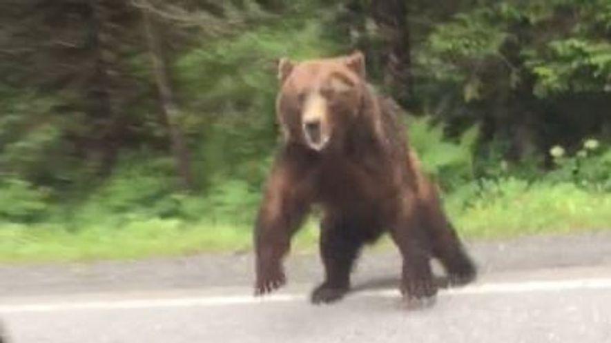 Un oso ataca por sorpresa a unos conductores en Alaska
