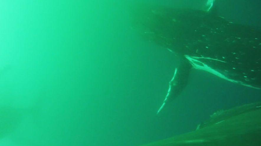 """Este es el primer vídeo de ballenas """"aleteando"""" como pájaros"""