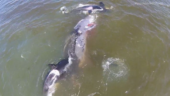 Un grupo de orcas trabaja en equipo para cazar a una ballena boreal