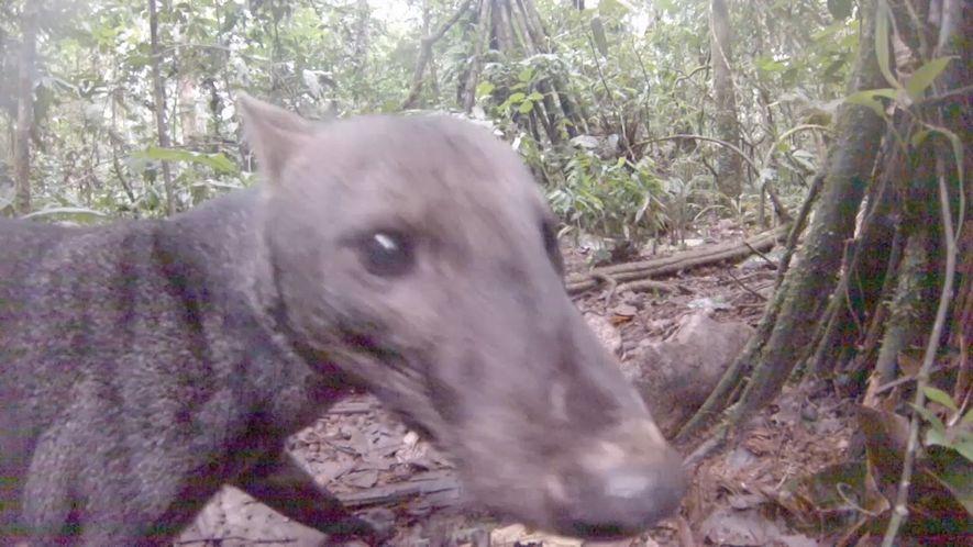 Un extraño perro de oreja corta grabado en el Amazonas