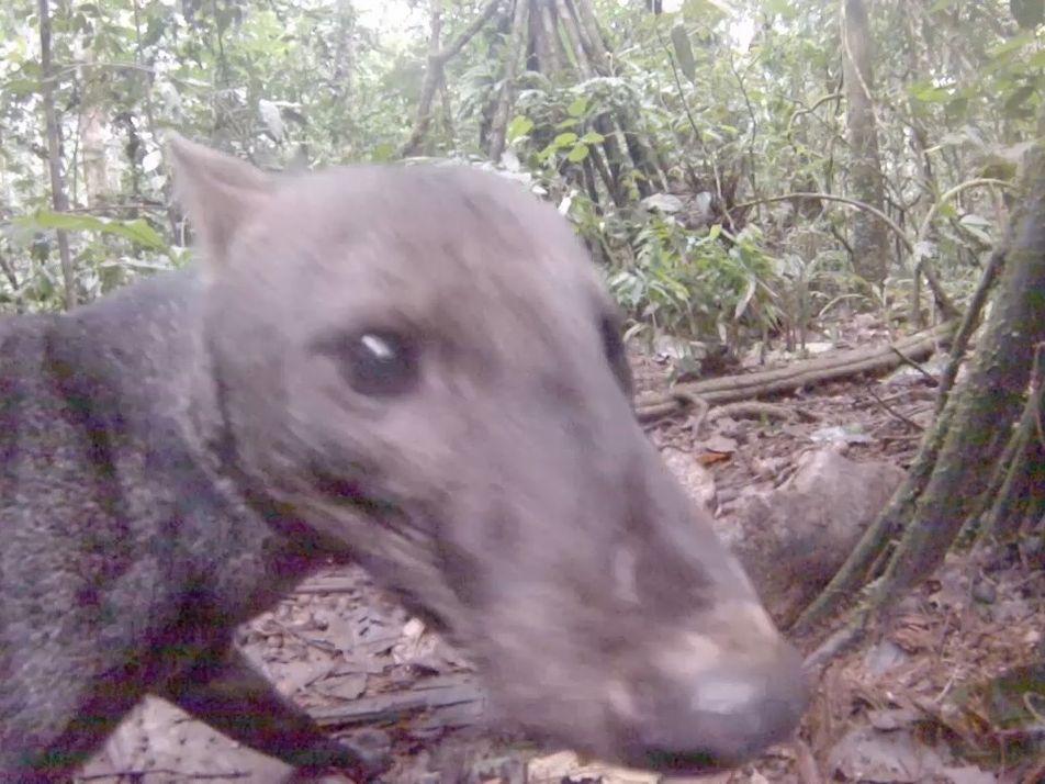 VÍDEO: Una GoPro graba al escurridizo perro de oreja corta del Amazonas