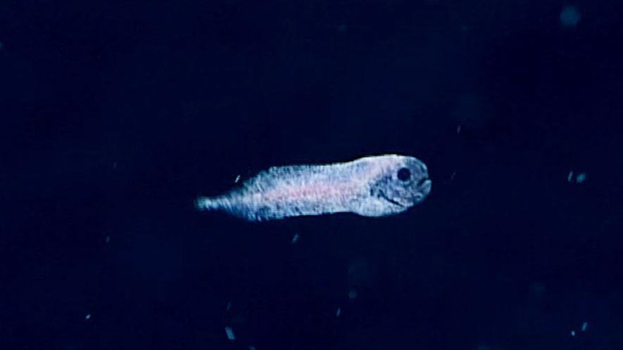 Un fantasmagórico pez baboso ha sido descubierto a 2.400 metros de profundidad
