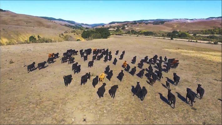 Otra nueva utilidad para los drones: el pastoreo de ganado