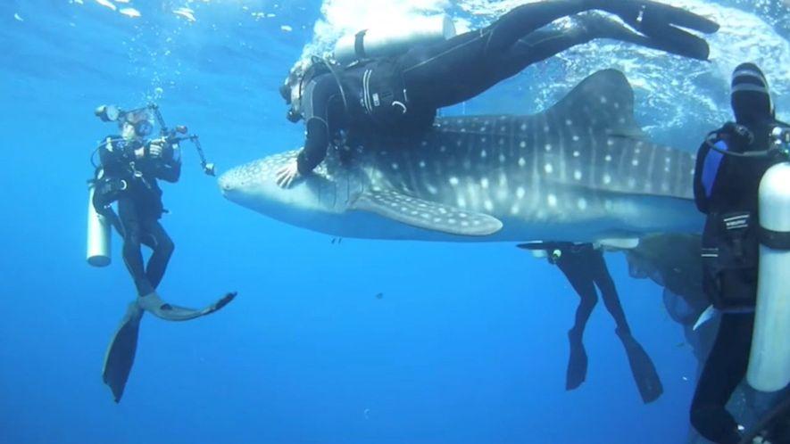 Unos buceadores rescatan a cuatro tiburones atrapados en redes de pesca
