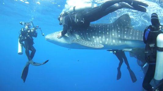 Imágenes del rescate de cuatro tiburones ballena atrapados en redes de pesca