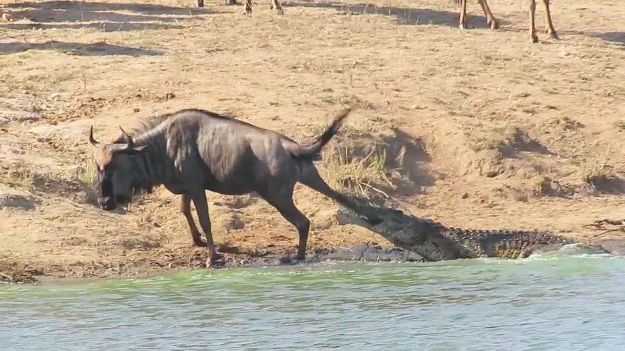 Dos hipopótamos salvan a un ñu a punto de ser devorado por un cocodrilo