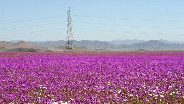 Miles de flores en el desierto de Atacama, uno de los lugares más secos del mundo