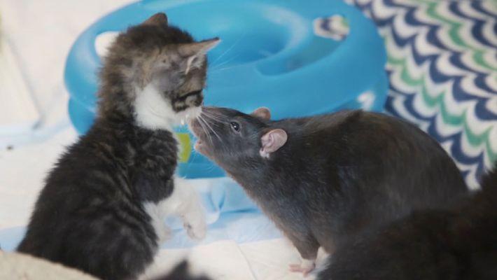 Estos gatitos tienen unas niñeras bastante inusuales: ratas