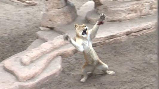 En este santuario, leones y tigres rescatados aprenden a cazar de nuevo