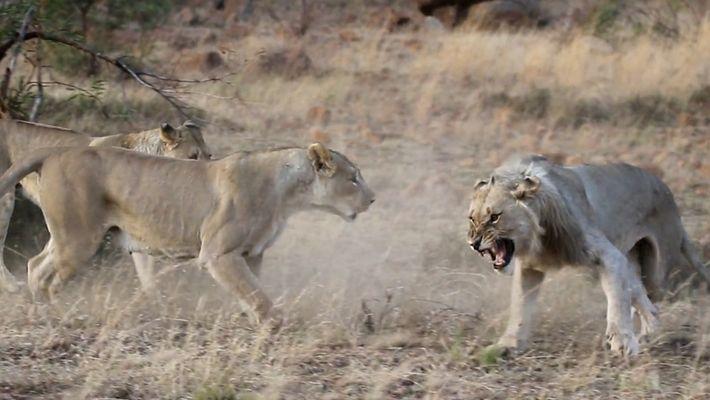 Dos leonas expulsan a un león macho de su propia manada